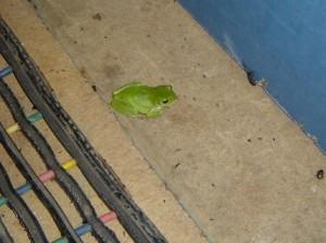We must be in Qld - green frog, Rolleston caravan park